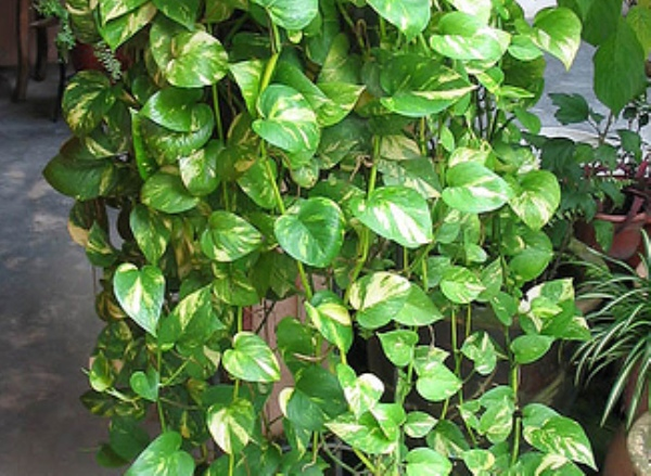 House plants ivy - House plants names and pictures ...
