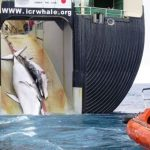 Australia Request Japan To Stop The Whale Hunt