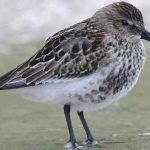 Canadian Shore Birds Fighting For Survival Because Of Diminished Resources