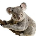 Koala Bears In Danger To Be Extinct