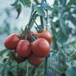 The Human Urine And Ash Are Effective Tomato Fertilizers