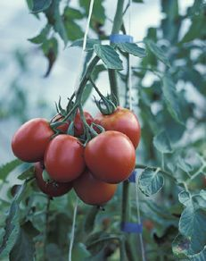Tomato Fertilizers