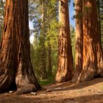 Redwood Trees In Danger With Fog declination In California