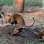 Stars Beg India To Save The Tigers