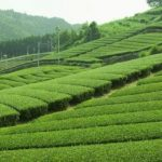 The Healthy Green Tea and the Environment