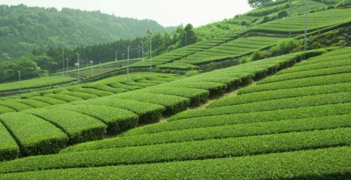tea plantations