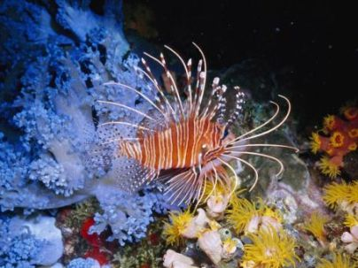 Lion Fish Becomes of Menace for Caribbean Fish Population