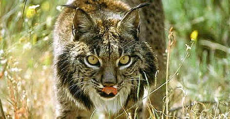 Iberian Lynx – Another Big Cat on the Road to Extinction